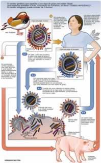 Recombinación genética virus H1N1